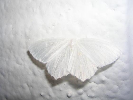 Moth ID Please - Eugonobapta nivosaria