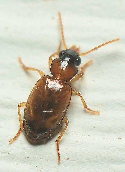 One More Unknown Beetle - Perigona nigriceps