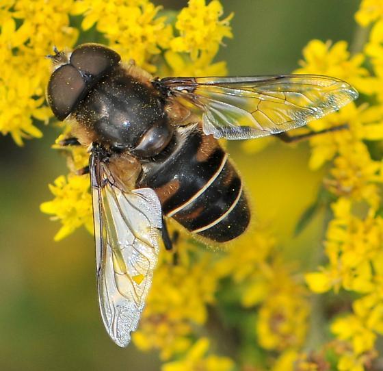 Syrphid Fly (Eristalis dimidiata) - Eristalis dimidiata - male