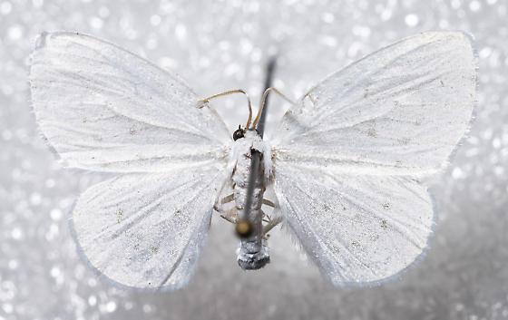 Eudeilinea herminiata - Eudeilinia herminiata