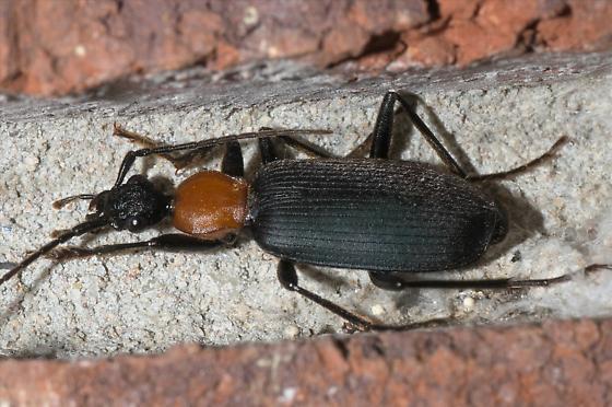 Black and red ground beetle - Galerita atripes