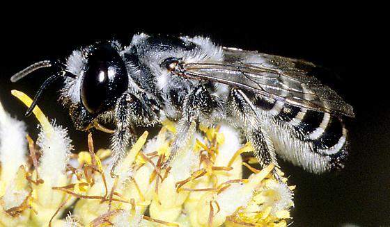 Megachile female - Megachile newberryae - female