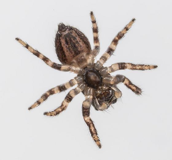 Jumping Spider - Evarcha hoyi - female