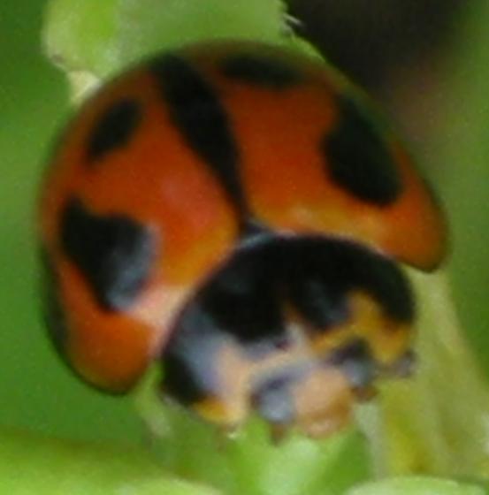Variable Lady Beetle (was: Unknown lady) - Coelophora inaequalis - male