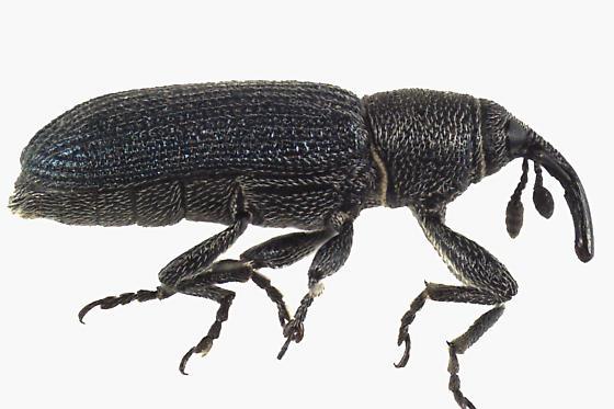 Weevil Beetle  - Mecinus janthinus
