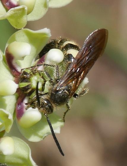 wasp on milkweed - Dielis plumipes