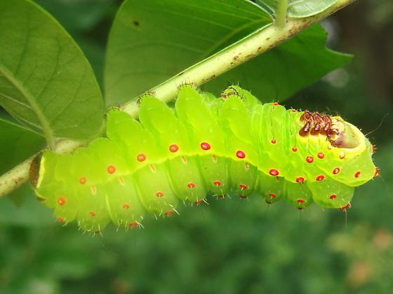 Luna Moth caterpillar - Actias luna