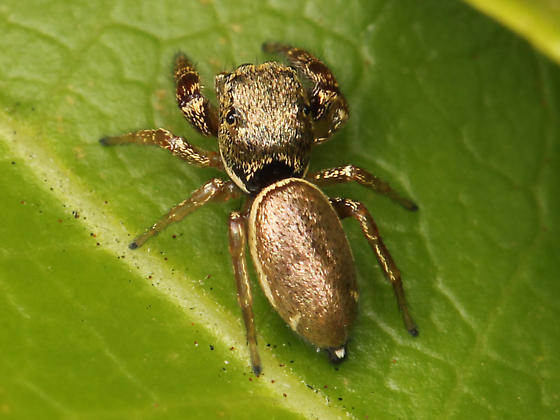 Sassacus vitis - female