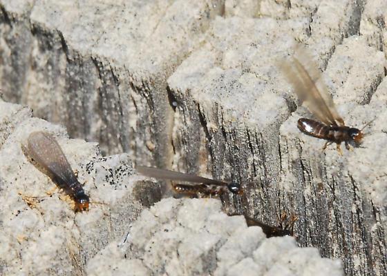 Termites, exiting cut-off log