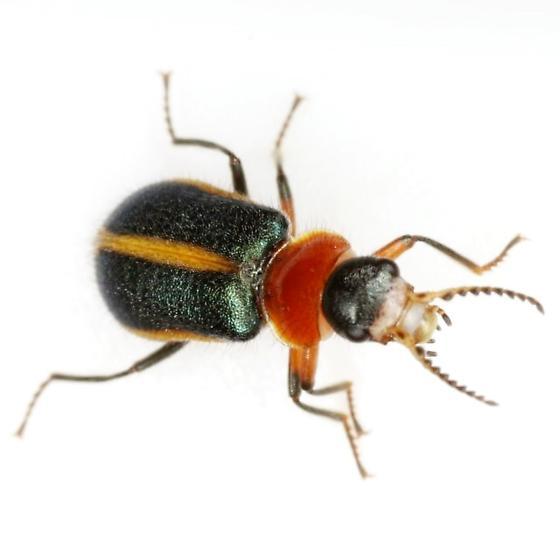 Collops limbellus Gemminger & Harold - Collops limbellus - female