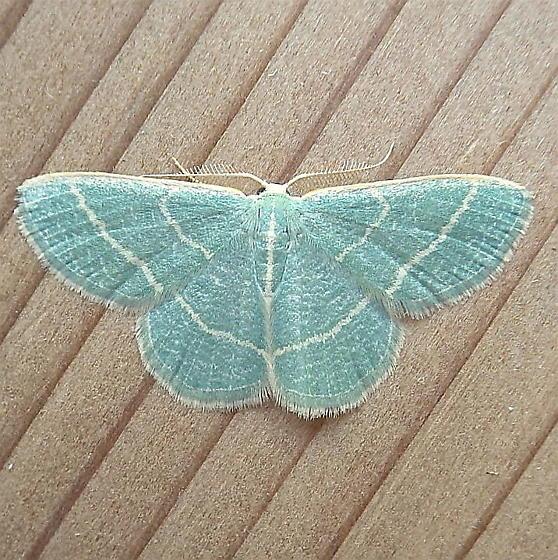 Geometridae: Chlorochlamys triangularis - Chlorochlamys triangularis