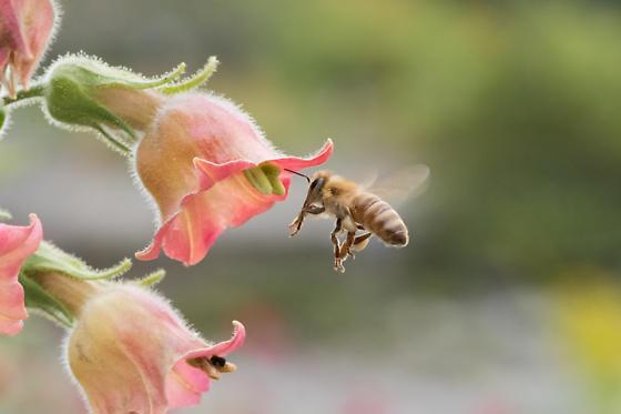 Not sure of species? Honey Bee? - Apis mellifera - female