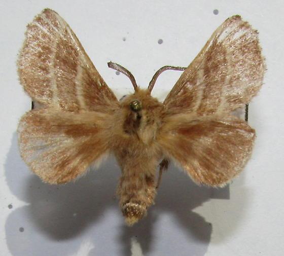 Malacosoma americanum - Malacosoma americana - male