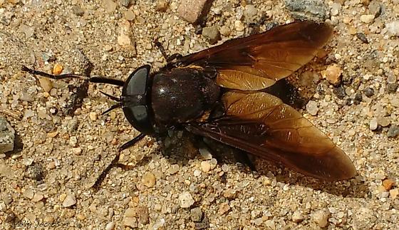 horsefly - Tabanus atratus - female