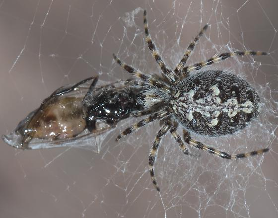 Black and white orb weaver - Aculepeira carbonarioides