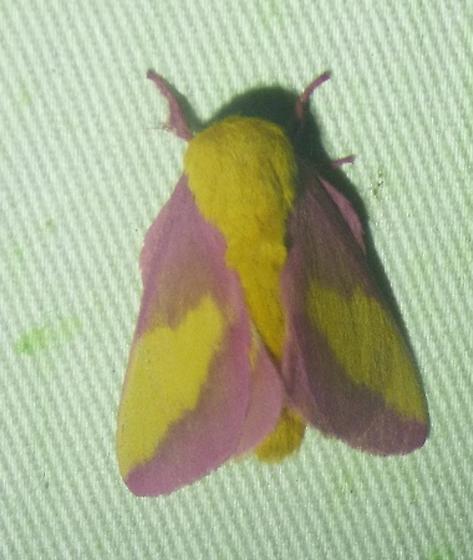 rosy maple moth - Dryocampa rubicunda