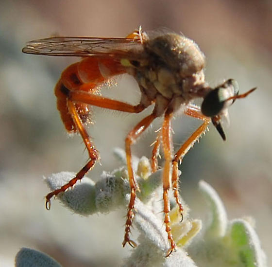 Odd-Looking Fly - Saropogon mohawki
