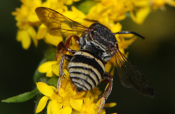 Epeolus scutellaris - male