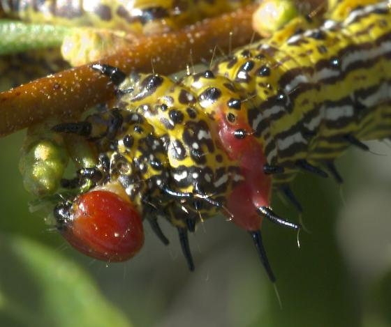 Yellow caterpillar - Schizura concinna