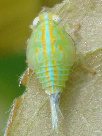 Nymph - Thionia simplex