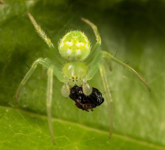 Araneus cingulatus ? - Araneus cingulatus - male