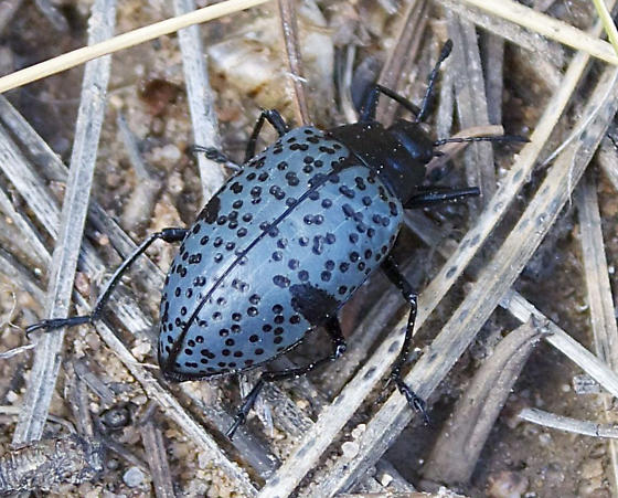 Blue Beetle with Black Spots - Gibbifer californicus