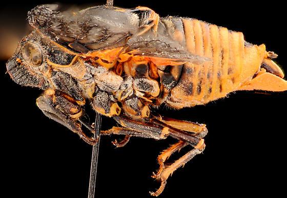 Cicada, male lateral - Okanagana hesperia - male
