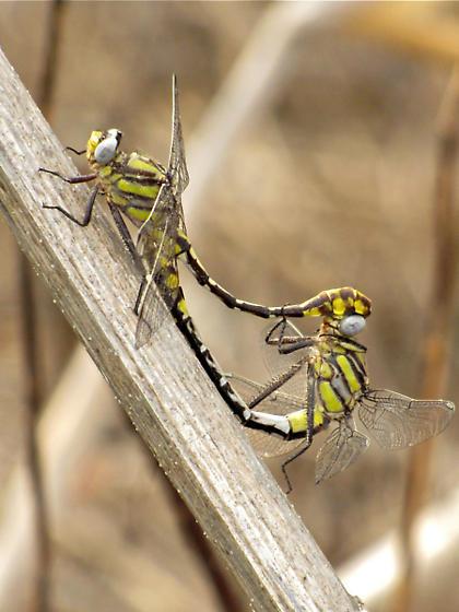 Tamaulipan Clubtail, Gomphus gonzalezi - Gomphurus gonzalezi - male - female