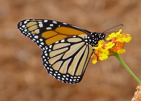 Monarch - Danaus plexippus - Danaus plexippus