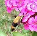 Bee or something else? - Hemaris diffinis