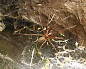 funnel web spider - Eratigena atrica - female