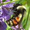 Bumble Bee - Bombus ternarius ? - Bombus rufocinctus