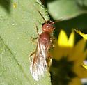 Velvet ant? - Odontophotopsis venusta