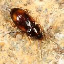 Ground Beetle - Elaphropus anceps