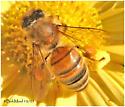 Worker Honey Bee - Apis mellifera - female
