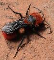 Dasymutilla - Dasymutilla aureola - male