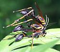 Wasp trio - Sceliphron caementarium