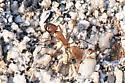 Camponotus genus? - Camponotus fragilis