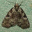 Unknown Moth - Leuconycta lepidula