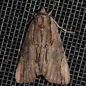 NMW2017 Moth #115 - Catocala ultronia