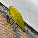 Lesser angle-wing katydid - Microcentrum retinerve - male