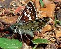 White/Brown Moth - Pyrgus communis