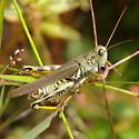 Differential Grasshopper? - Melanoplus differentialis - male