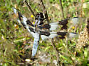 Eight-spotted Skimmer - Libellula forensis - male