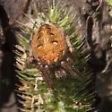 Unidentified Spider - Neoscona arabesca