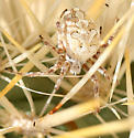 cactus spider - Aculepeira packardi - female
