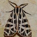 No. 336 Tiger moth species? - Apantesis