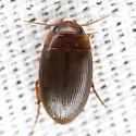 Predaceous Diving Beetle - Copelatus glyphicus