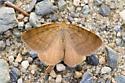 brown moth - Macaria brunneata - male