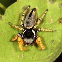 Jumper - Phidippus arizonensis